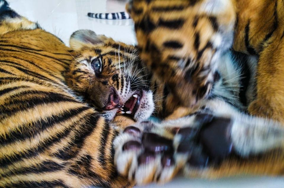 Damnoen Saduak Tiger Zoo in Bangkok, Thailand: tigers cub feeding, cutest thing ever!