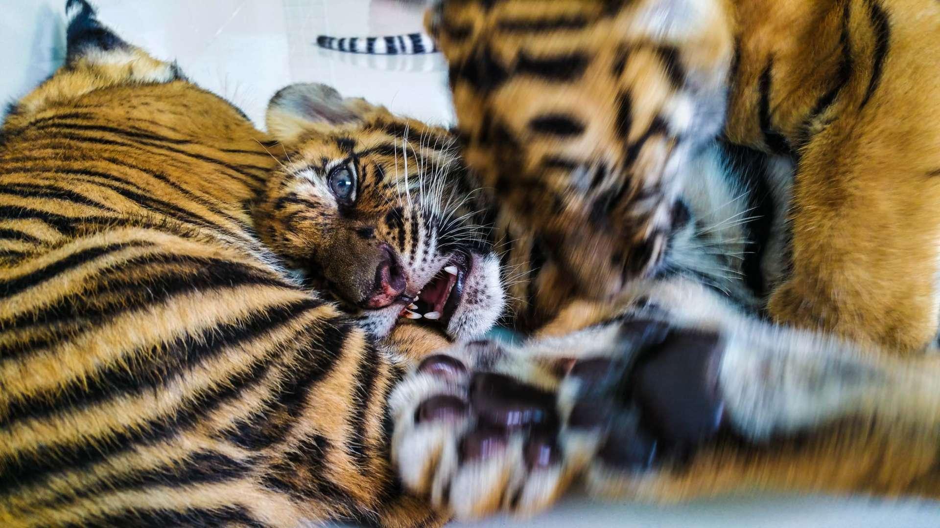 Damnoen Saduak Tiger Zoo Bangkok 11