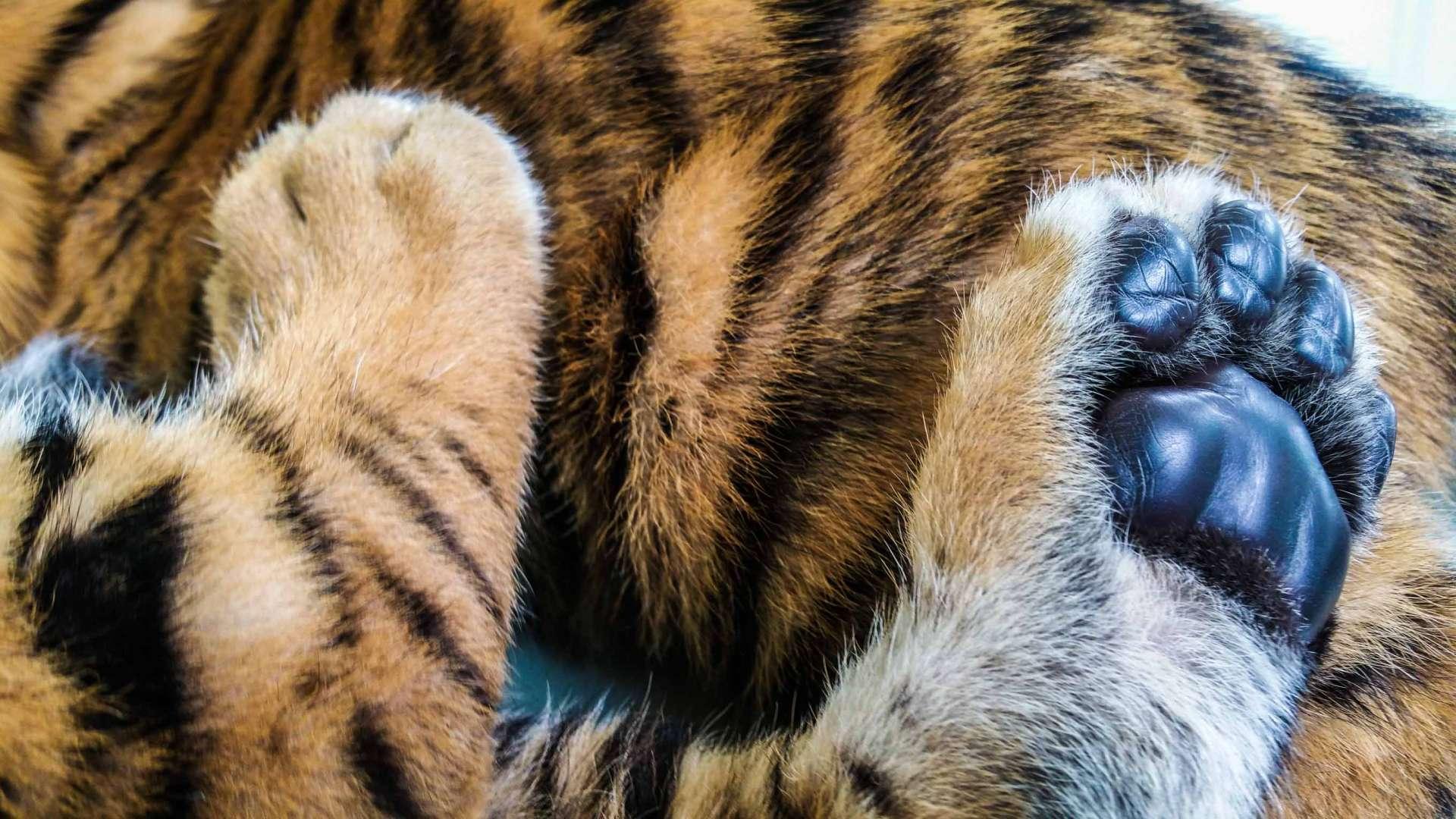 Damnoen Saduak Tiger Zoo Bangkok 12
