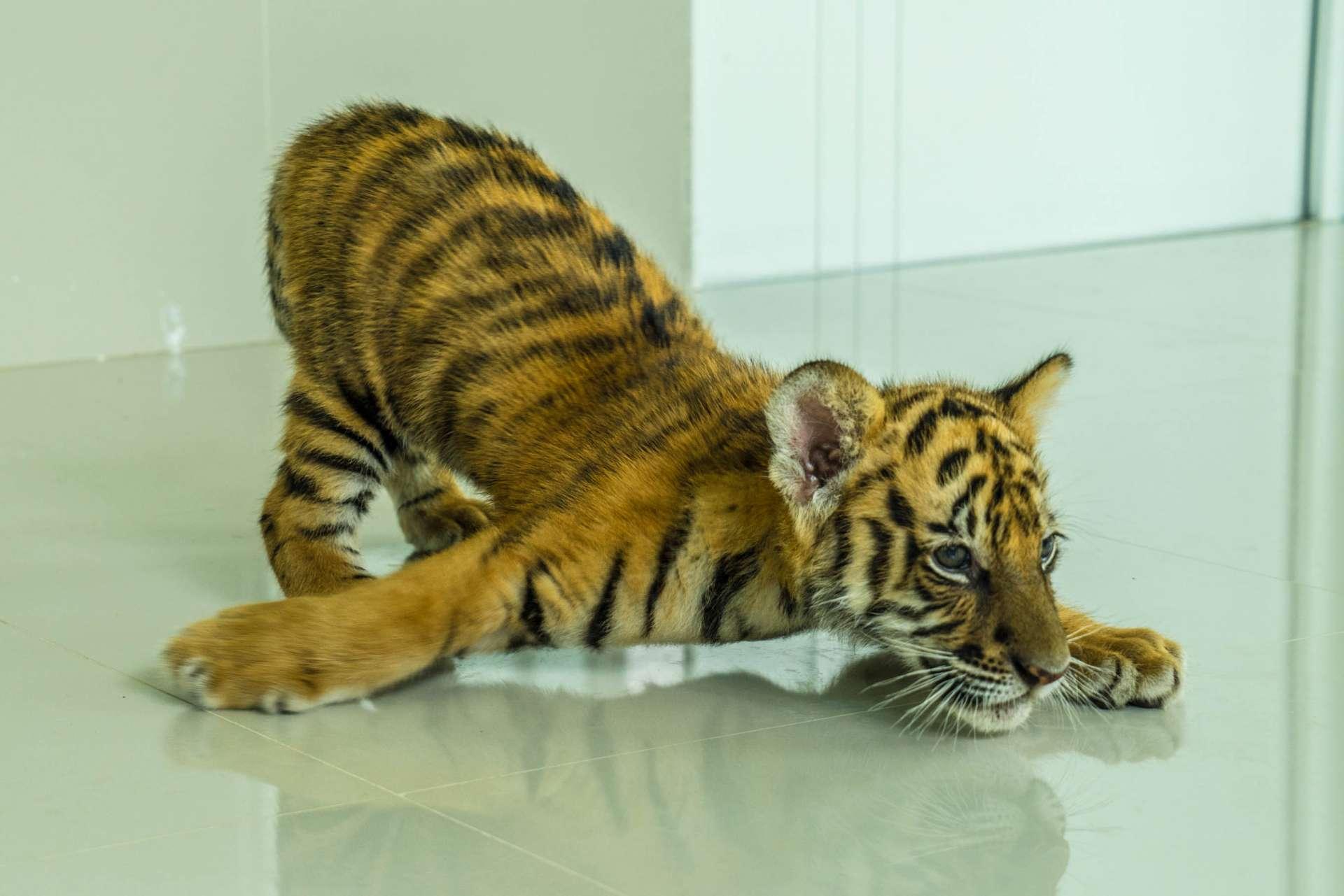Damnoen Saduak Tiger Zoo Bangkok 1