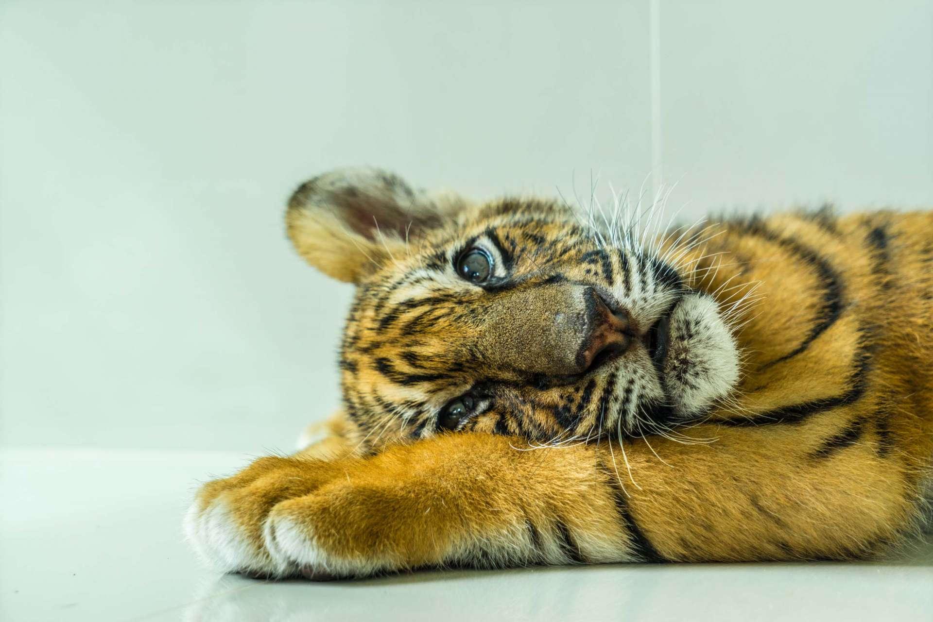 Damnoen Saduak Tiger Zoo Bangkok 4