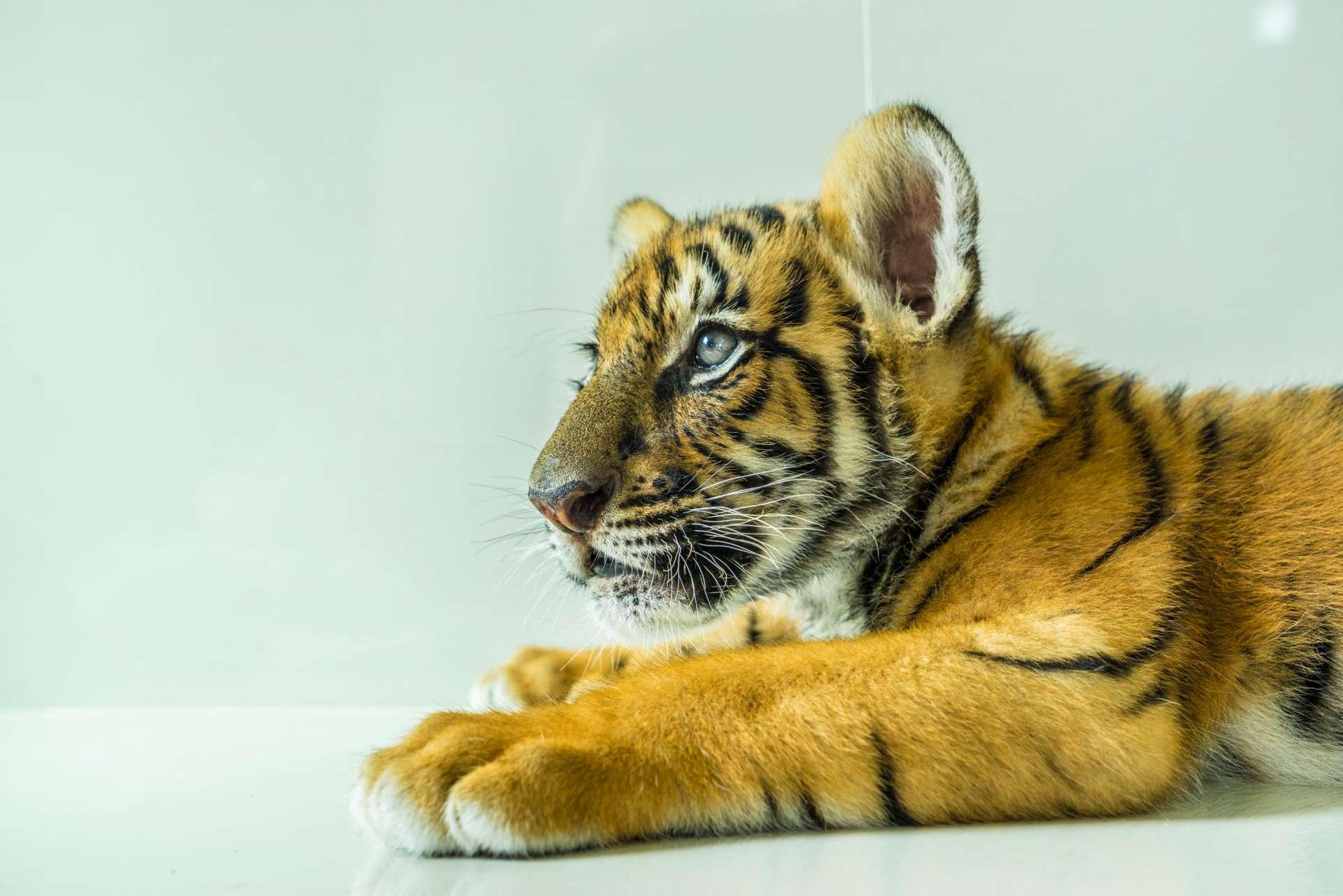 Damnoen Saduak Tiger Zoo Bangkok 5