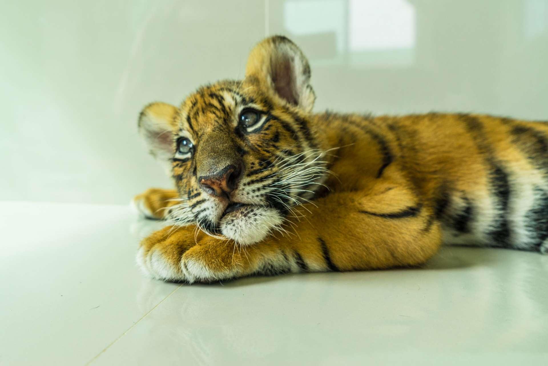 Damnoen Saduak Tiger Zoo Bangkok 6