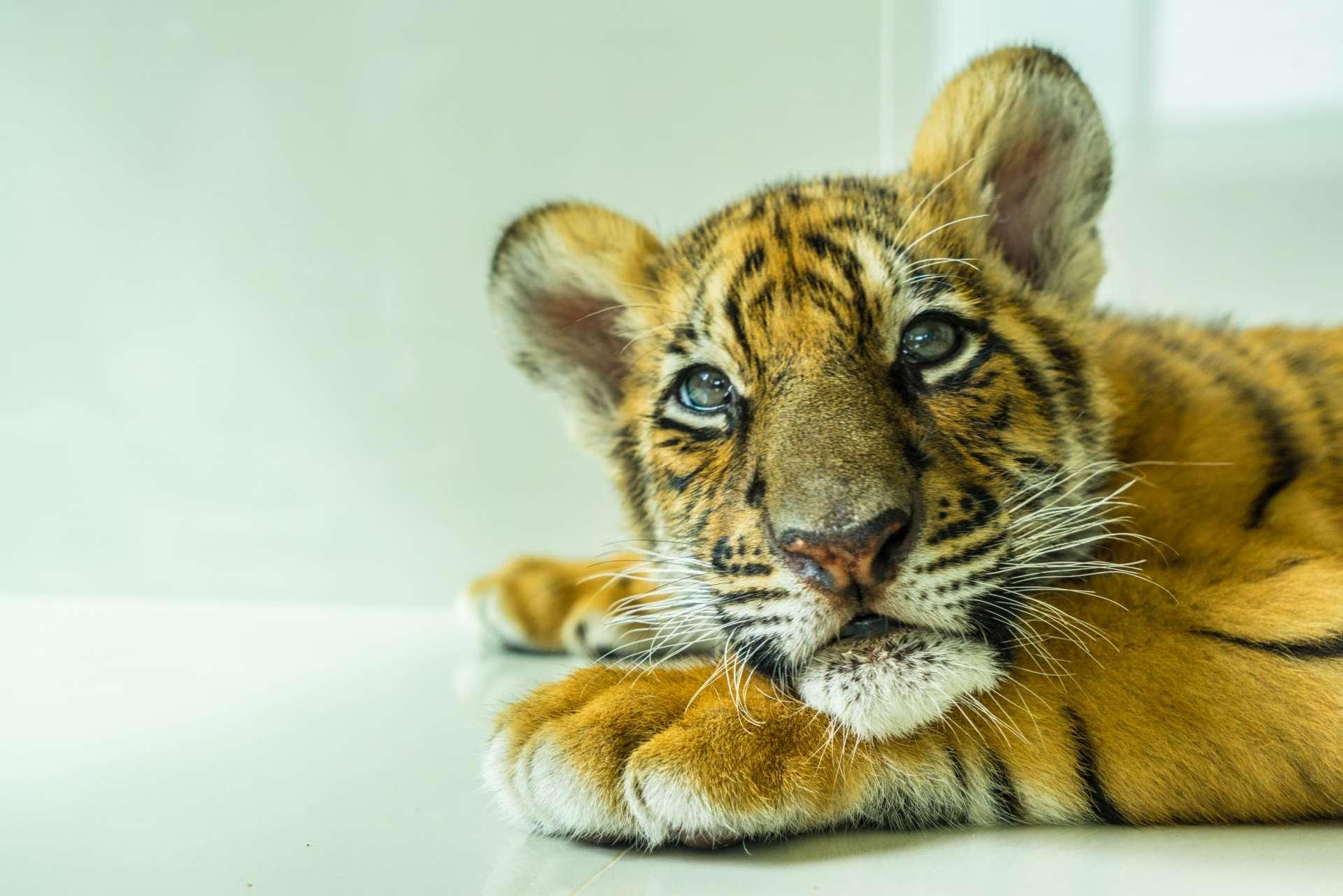Damnoen Saduak Tiger Zoo Bangkok 7