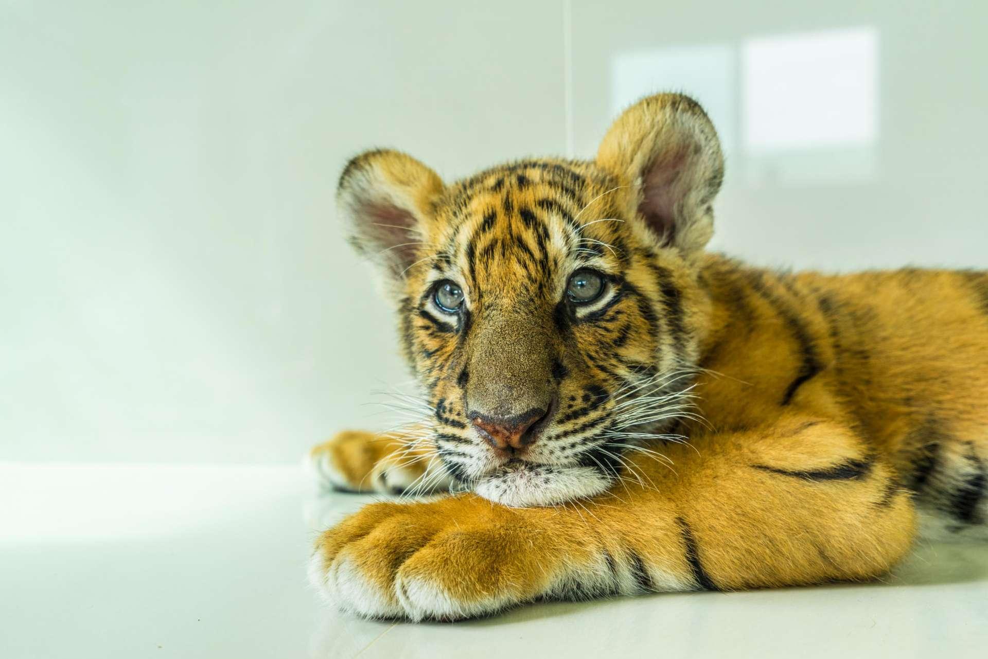 Damnoen Saduak Tiger Zoo Bangkok 8