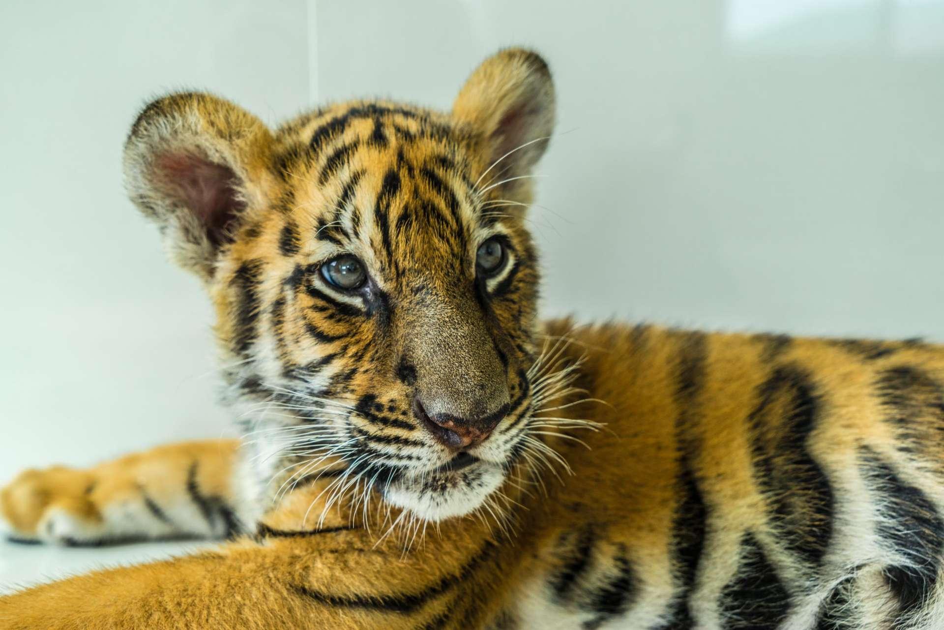 Damnoen Saduak Tiger Zoo Bangkok 9