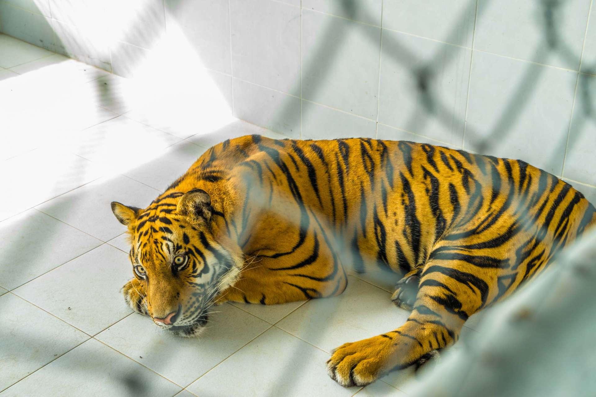 Damnoen Saduak Tiger Zoo Bangkok 10