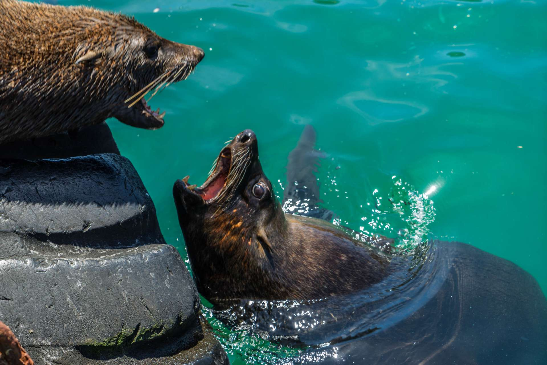 Cape Town Seals Pescart Enrico Pescantini 3