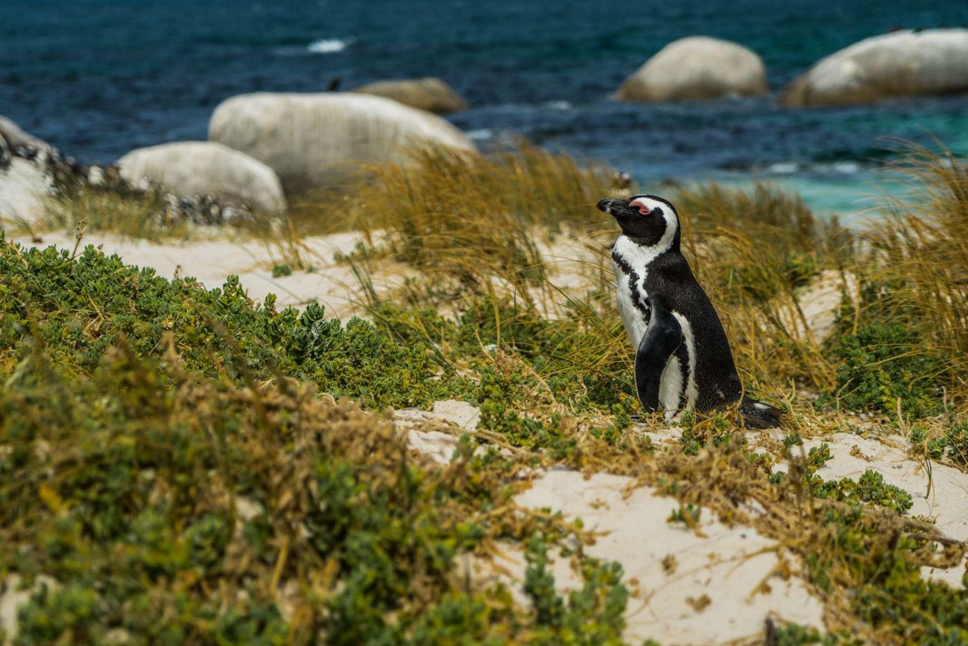Cape Town Boulders Beach Pescart Enrico Pescantini