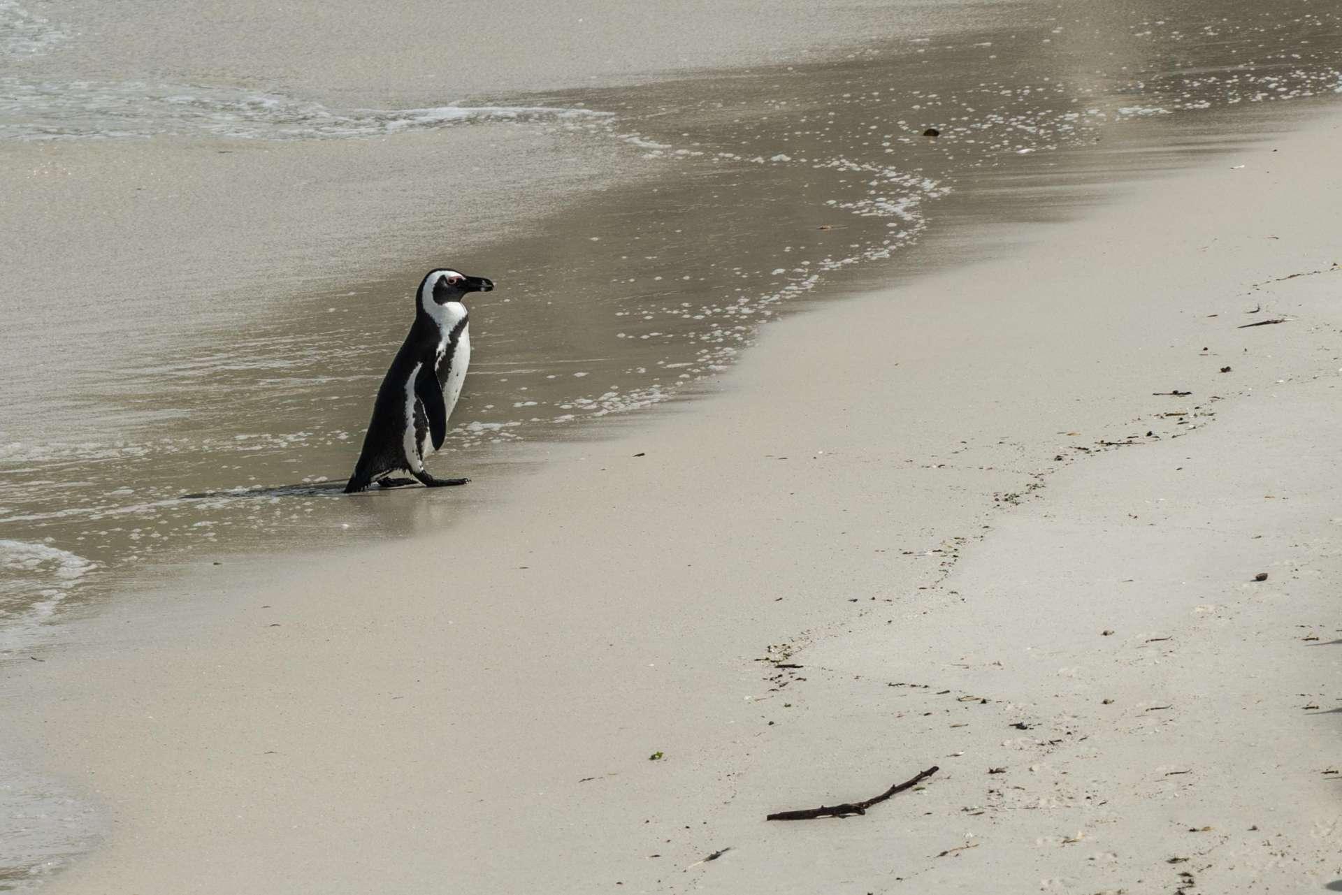 Cape Town Boulders Beach Pescart Enrico Pescantini 5
