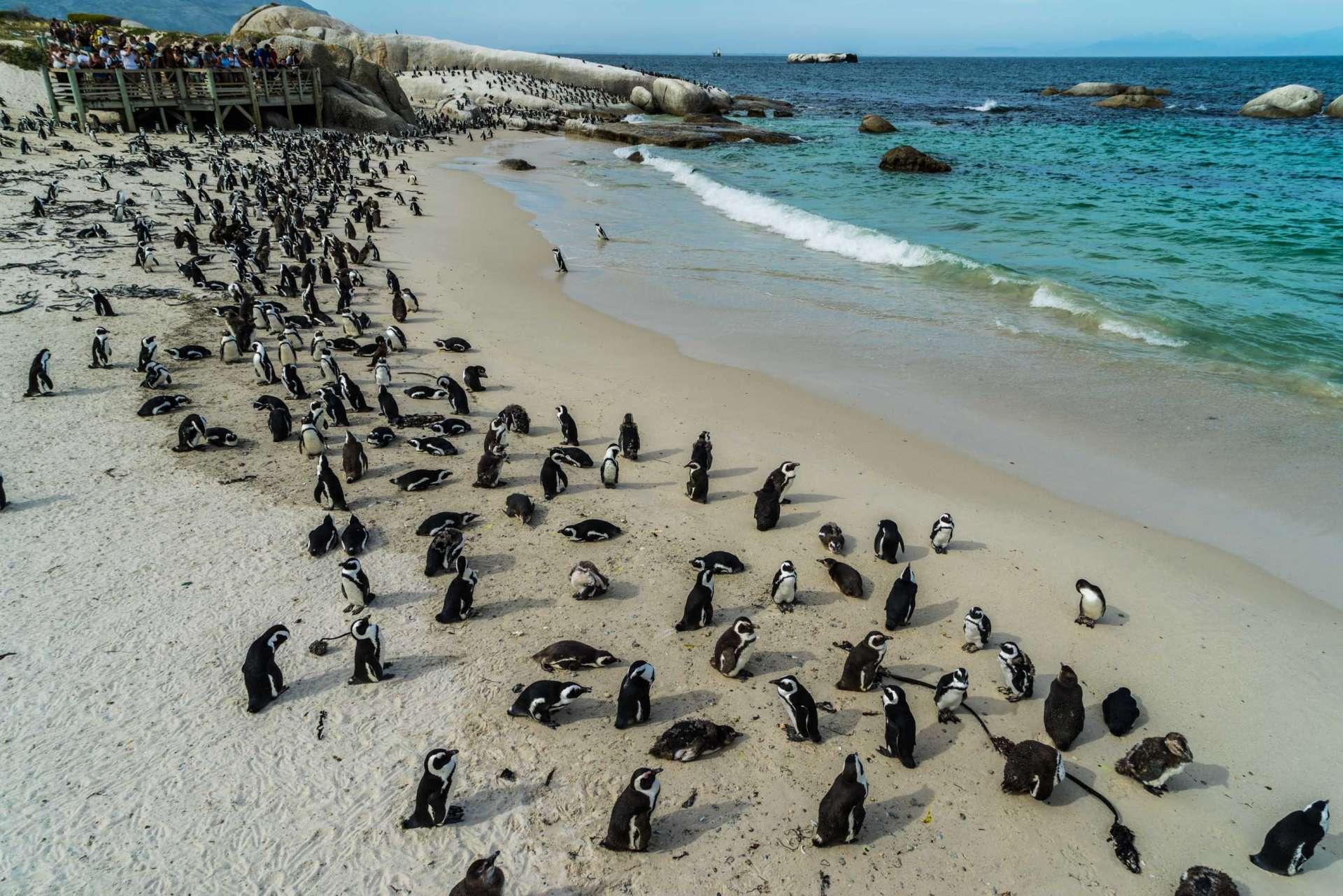 Cape Town Boulders Beach Pescart Enrico Pescantini 6