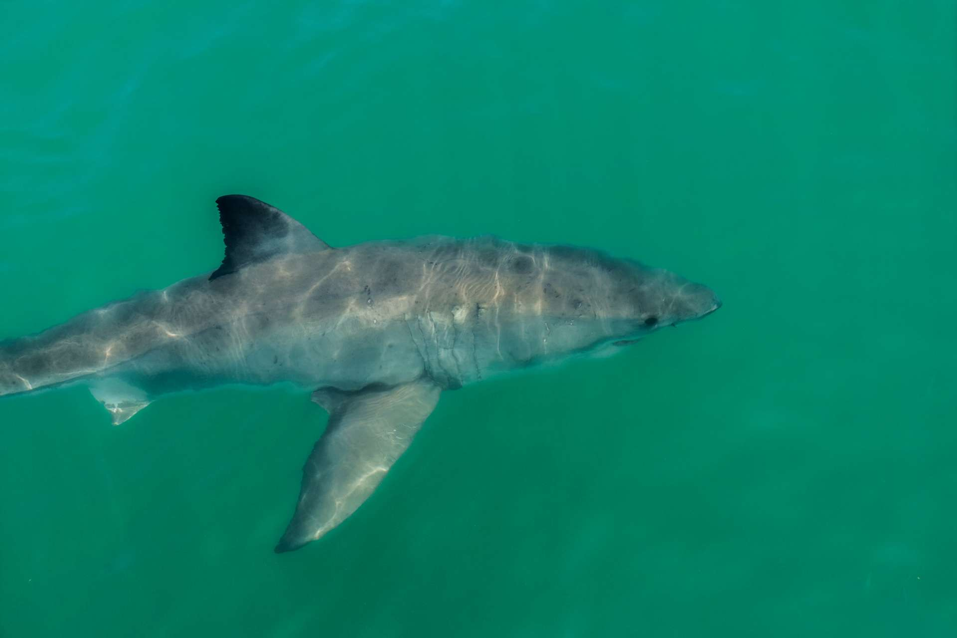 Cape Town White Shark Diving Pescart Enrico Pescantini 2