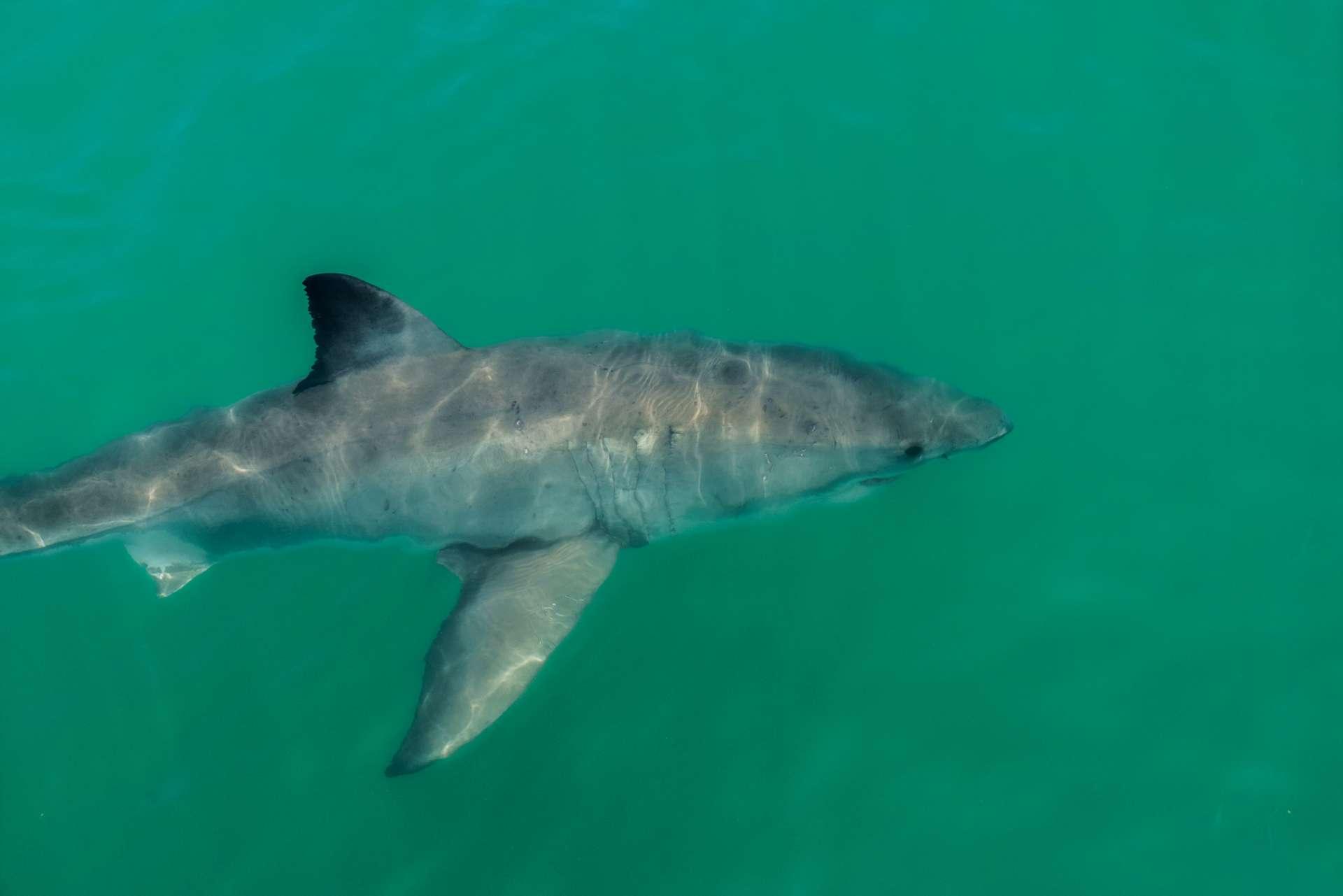 Cape Town White Shark Diving Pescart Enrico Pescantini 2