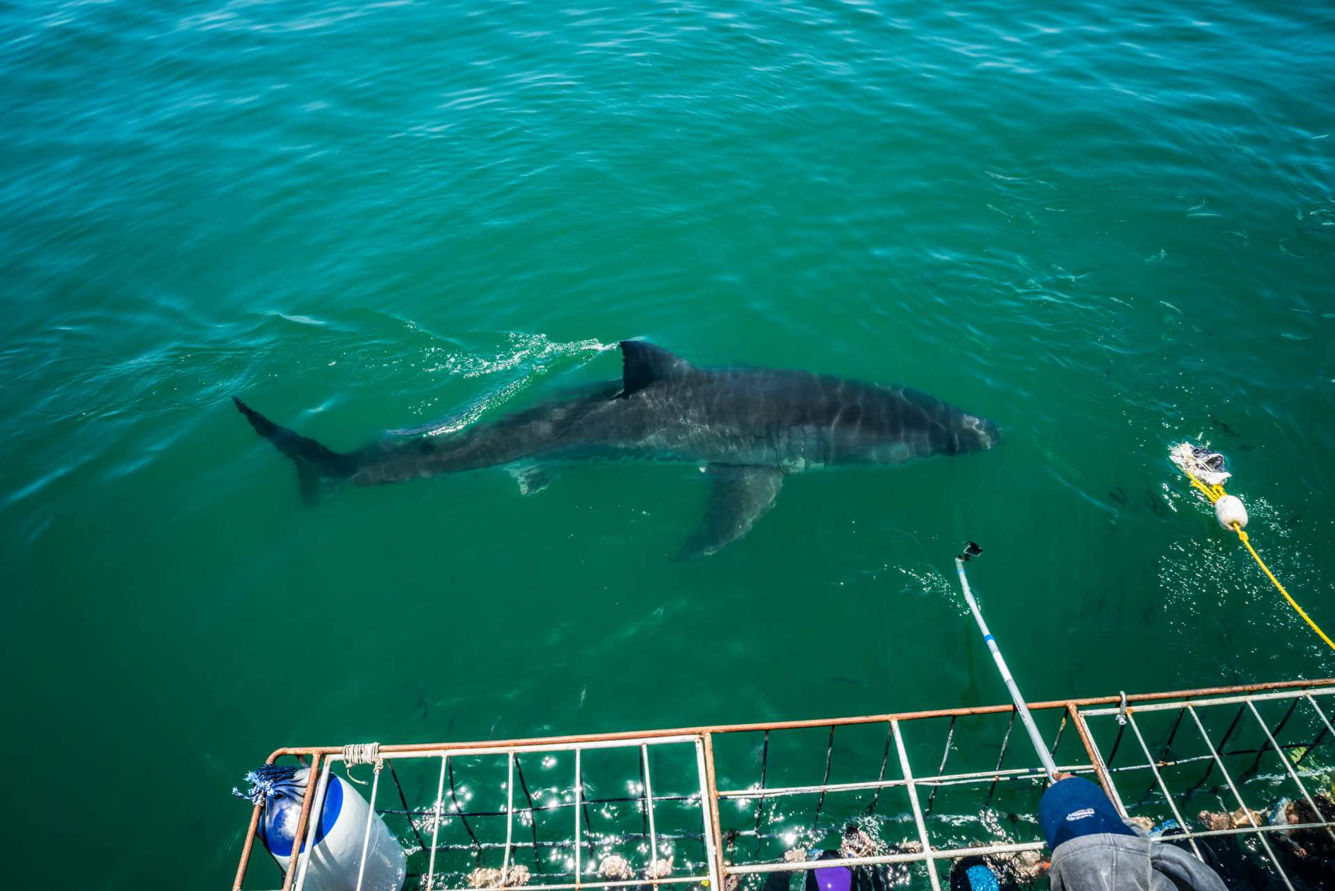 Cape Town White Shark Diving Pescart Enrico Pescantini 3