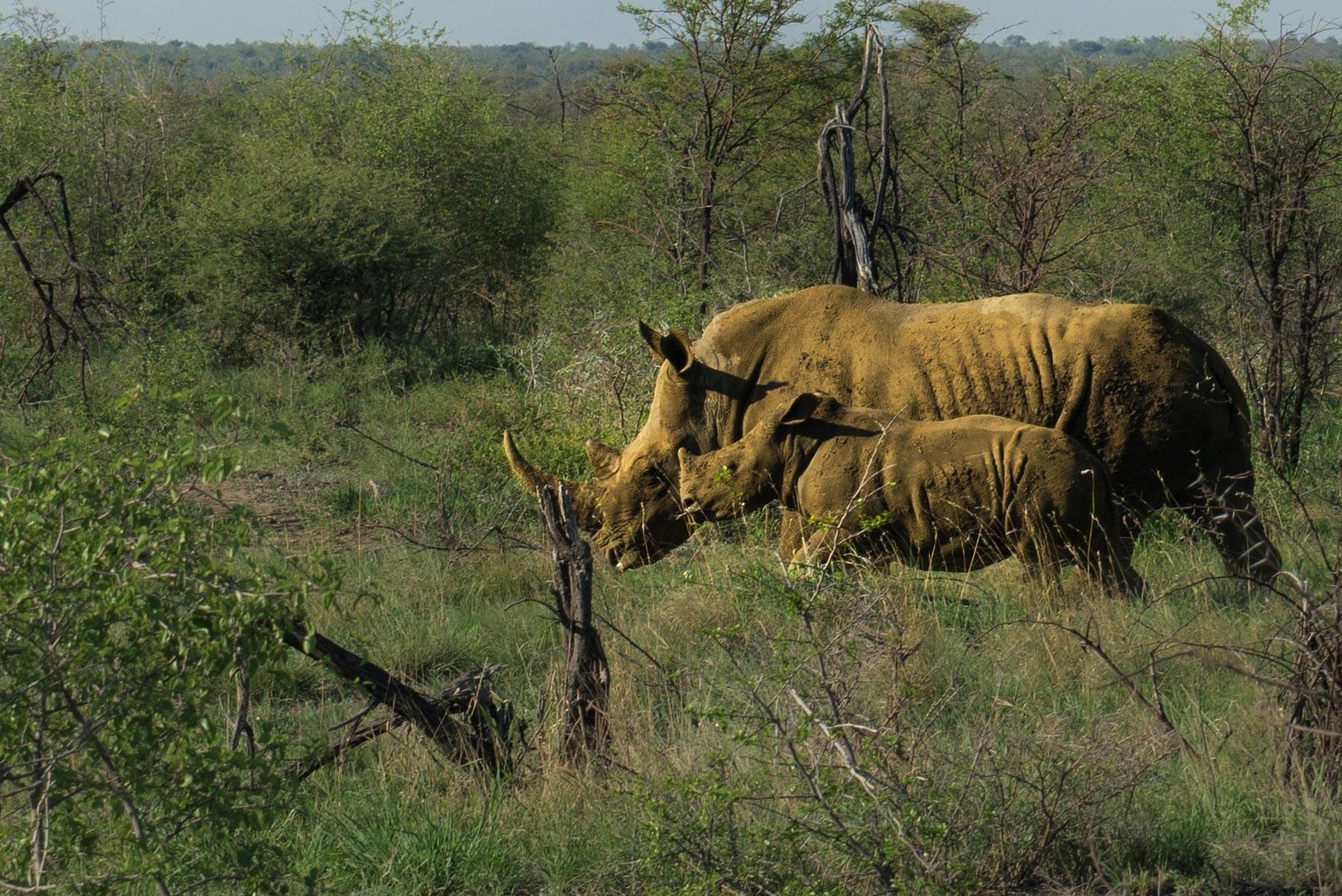 south africa madikwe safari pescart rhino mother and cub