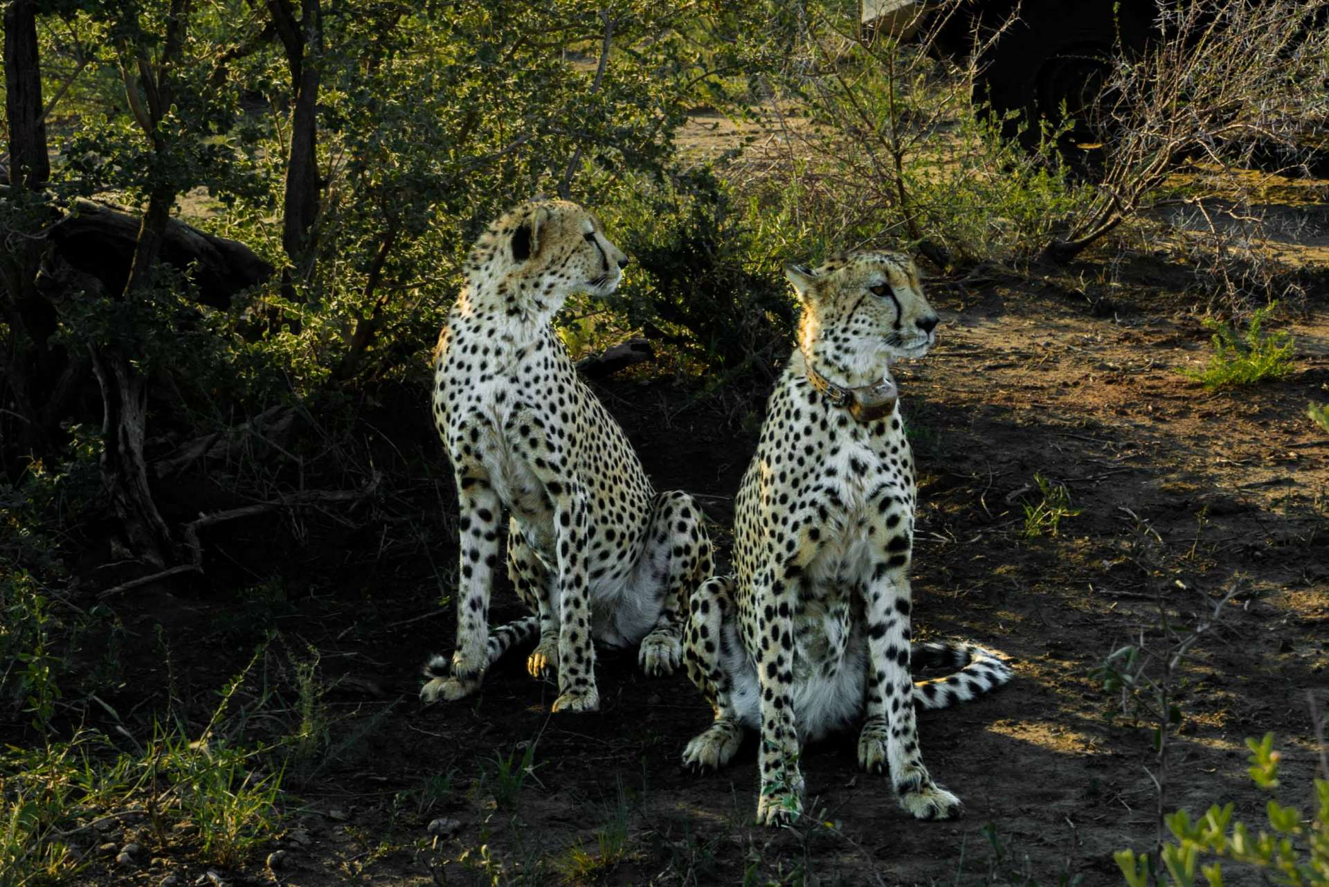 south africa madikwe safari pescart cheetah 6