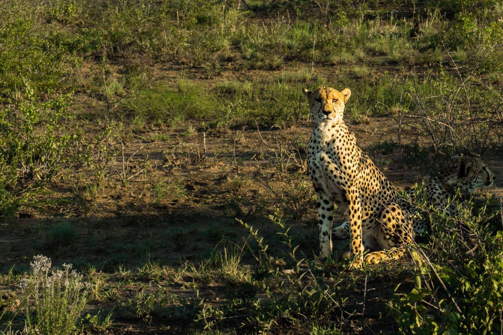 south africa madikwe safari pescart cheetah
