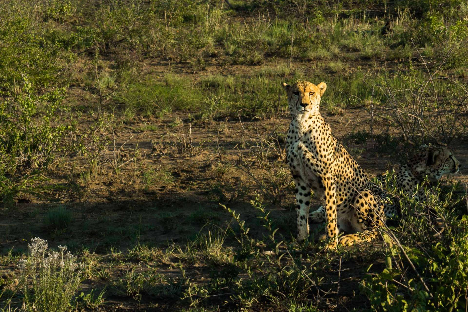 south africa madikwe safari pescart cheetah