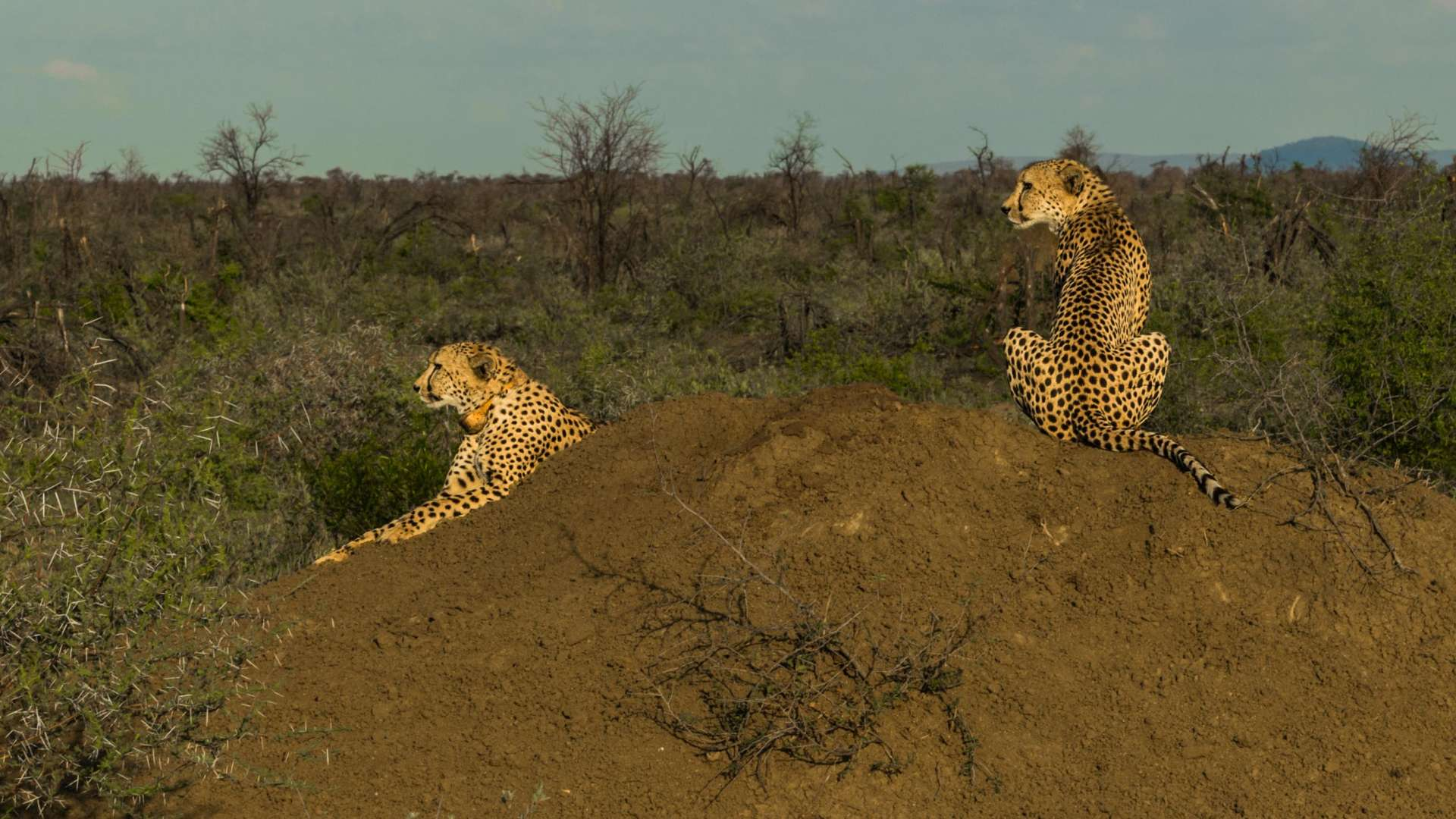 south africa madikwe safari pescart cheetah 3