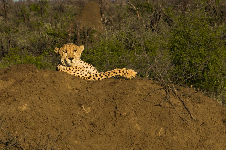 south africa madikwe safari pescart cheetah 5