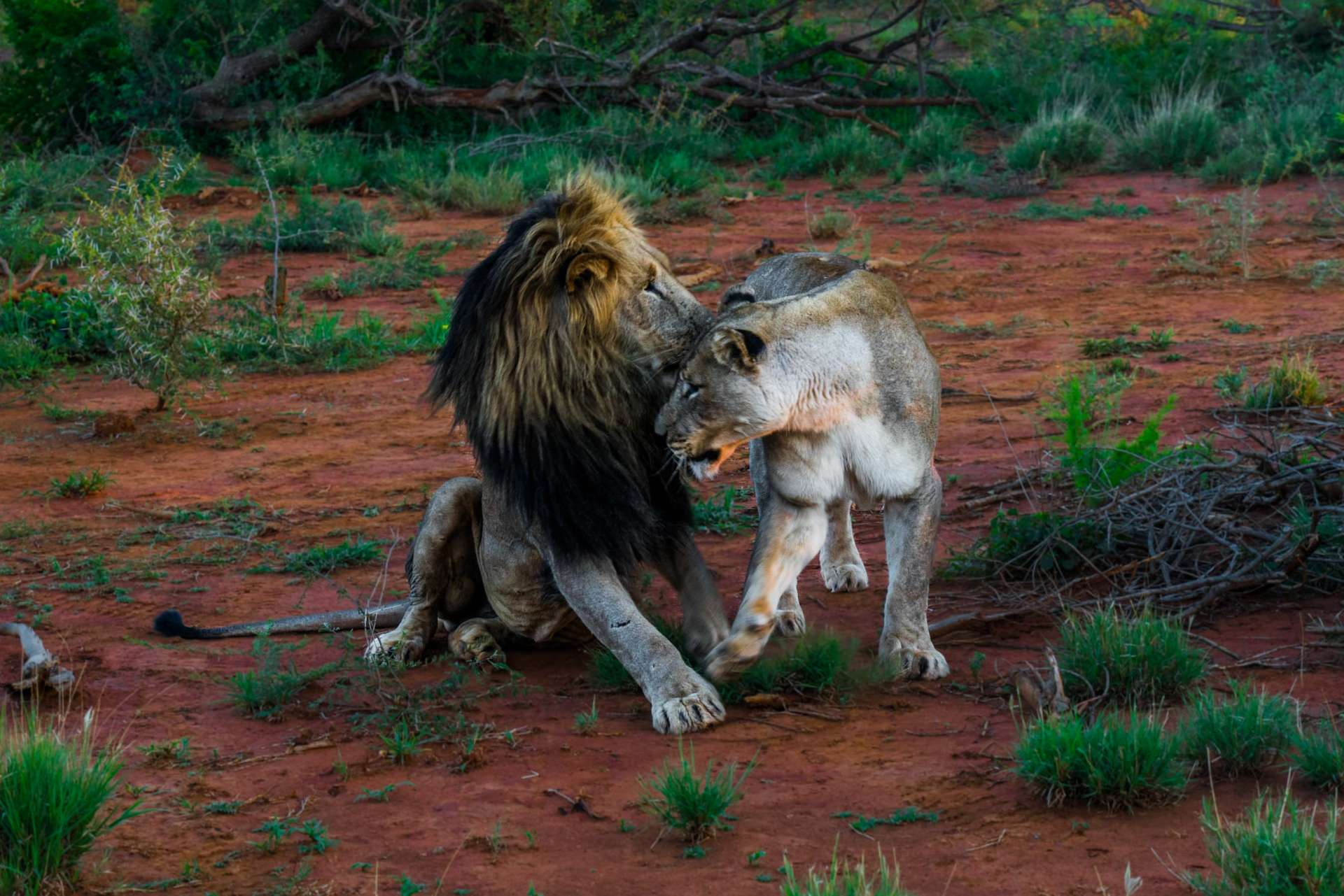 south africa madikwe safari pescart lion couple
