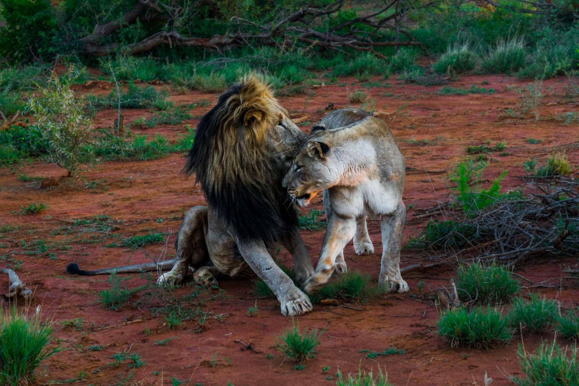 south africa madikwe safari pescart lion couple