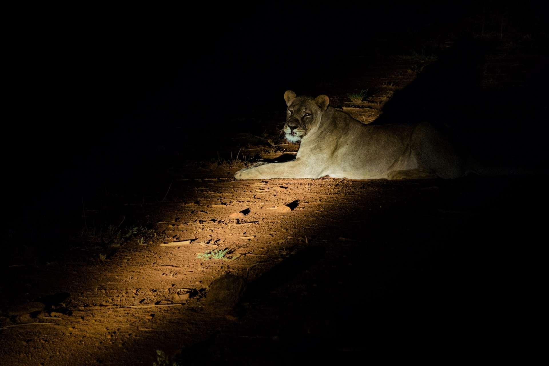 south africa madikwe safari pescart lioness by night