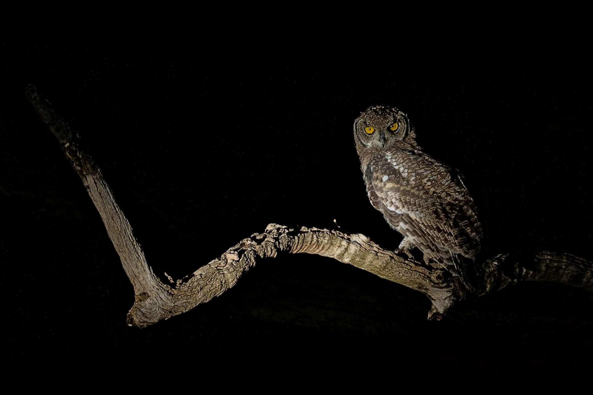 south africa madikwe safari owl