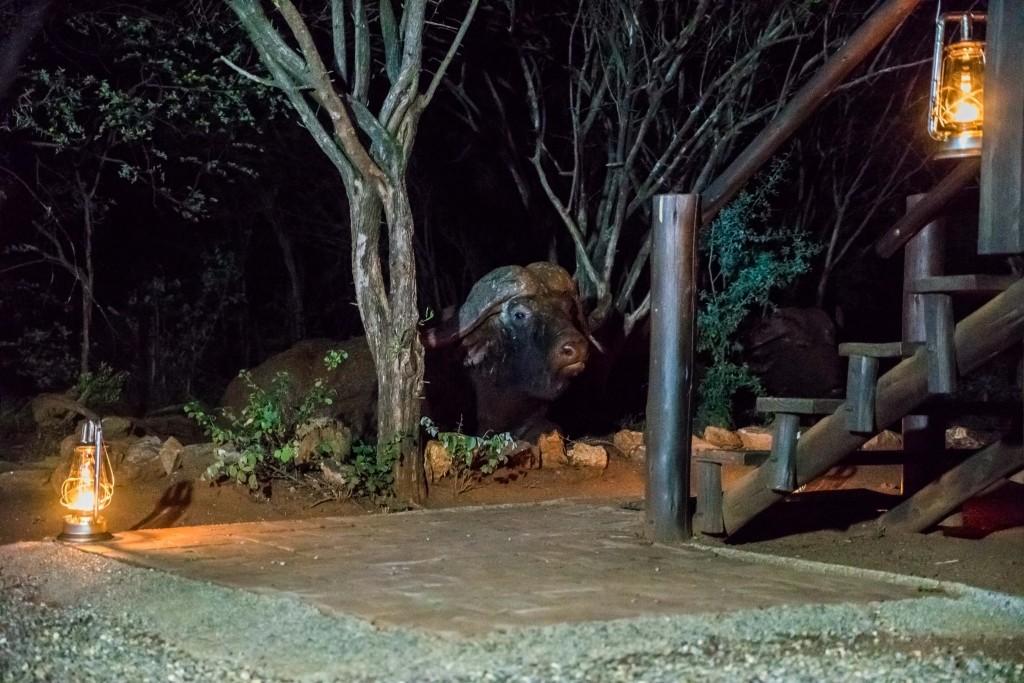 south africa madikwe safari pescart mosetlha bush camp buffalo