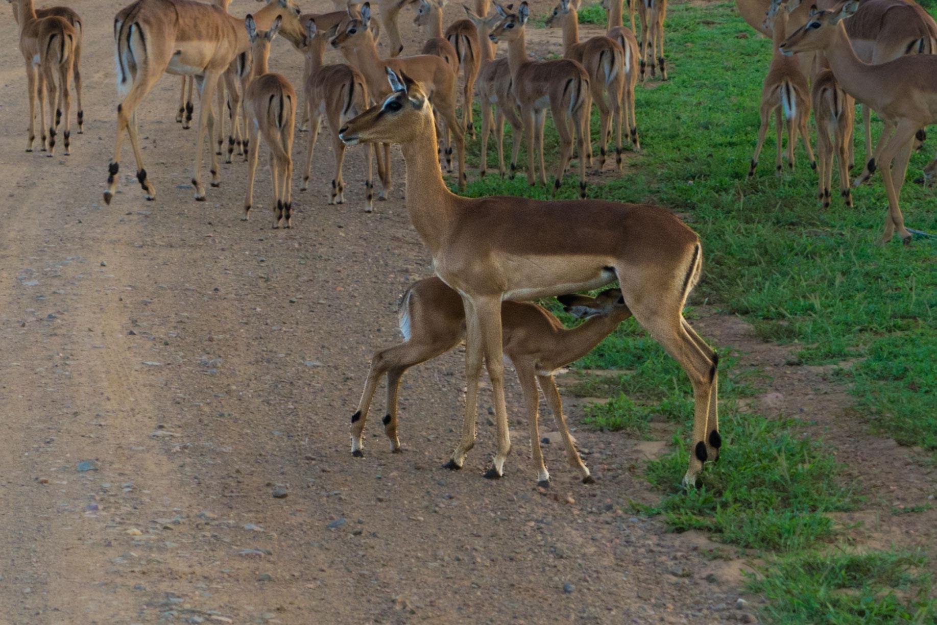 south africa madikwe safari pescart impala