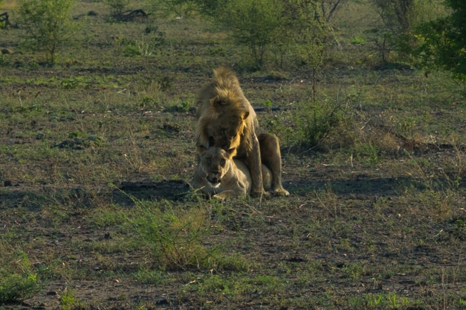 south africa madikwe safari pescart lion mating