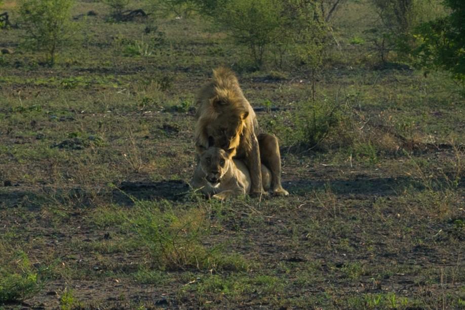 south africa madikwe safari pescart lion mating