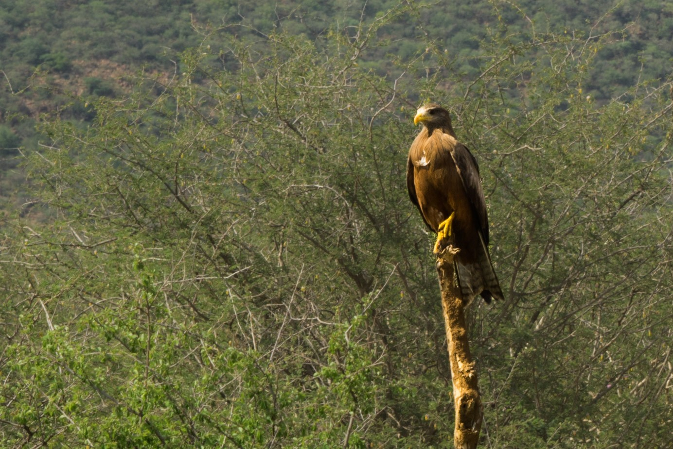south africa madikwe safari pescart eagle
