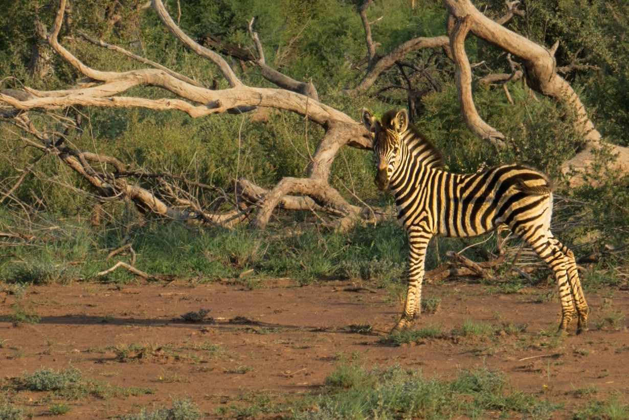 south africa madikwe safari pescart zebra