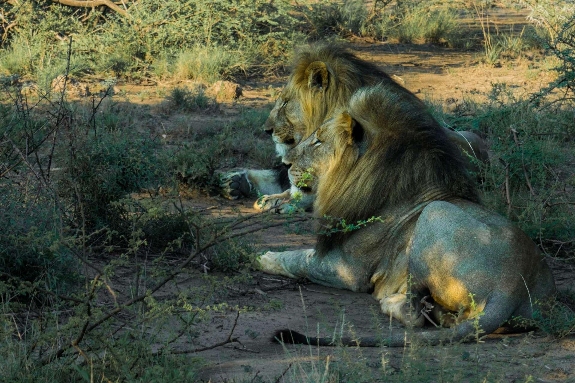 south africa madikwe safari pescart lion brothers