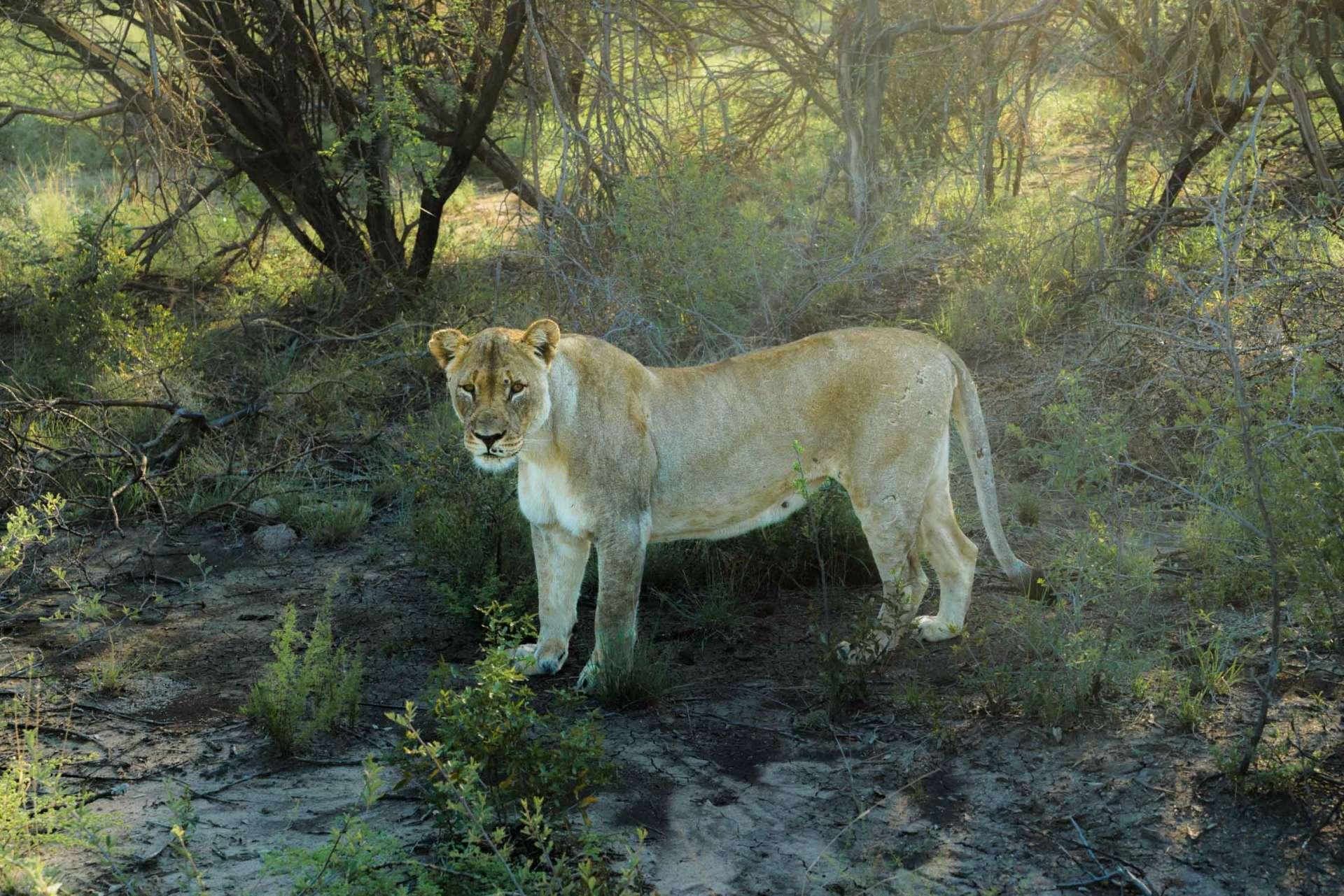 south africa madikwe safari pescart lioness