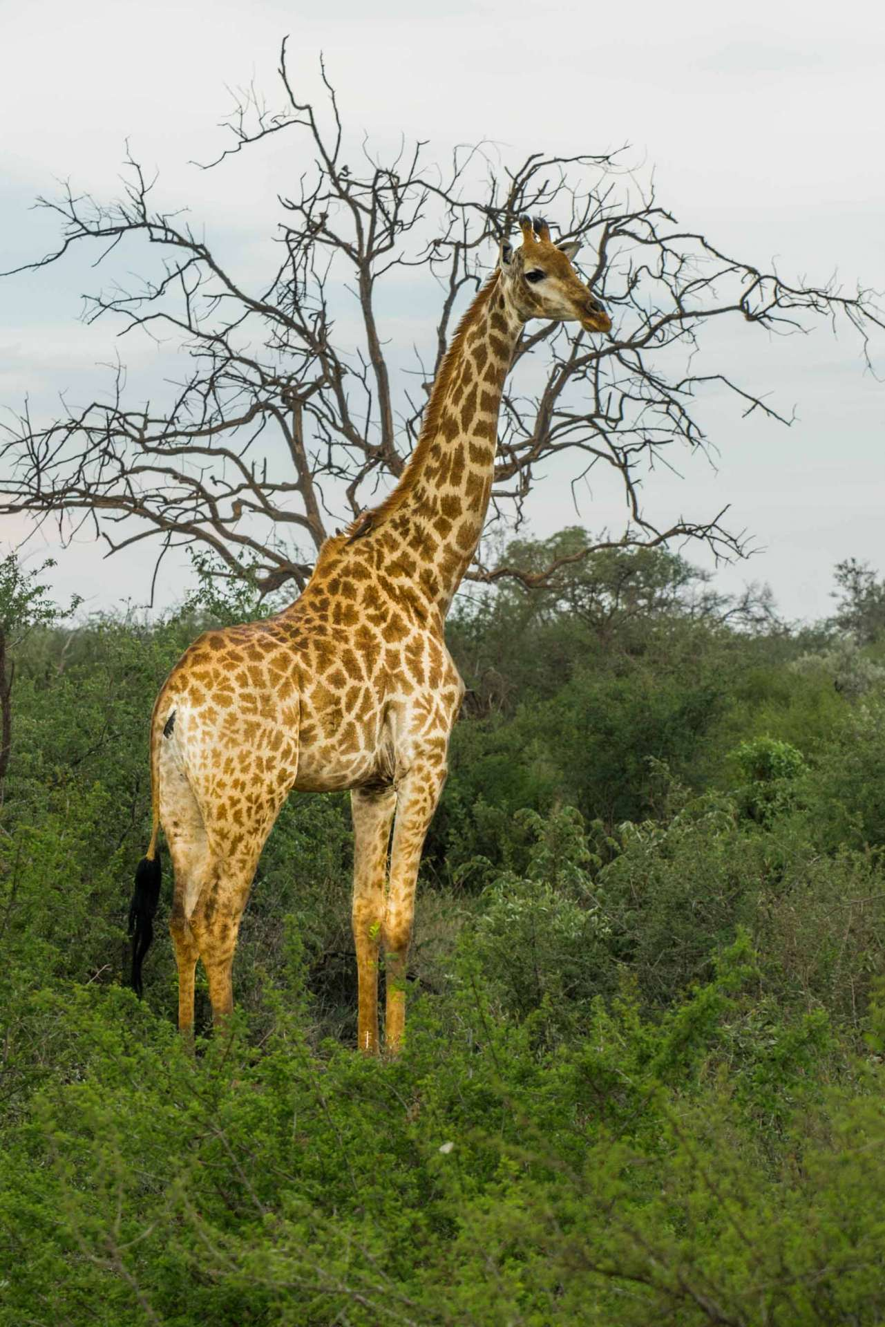south africa madikwe safari pescart giraffe 4