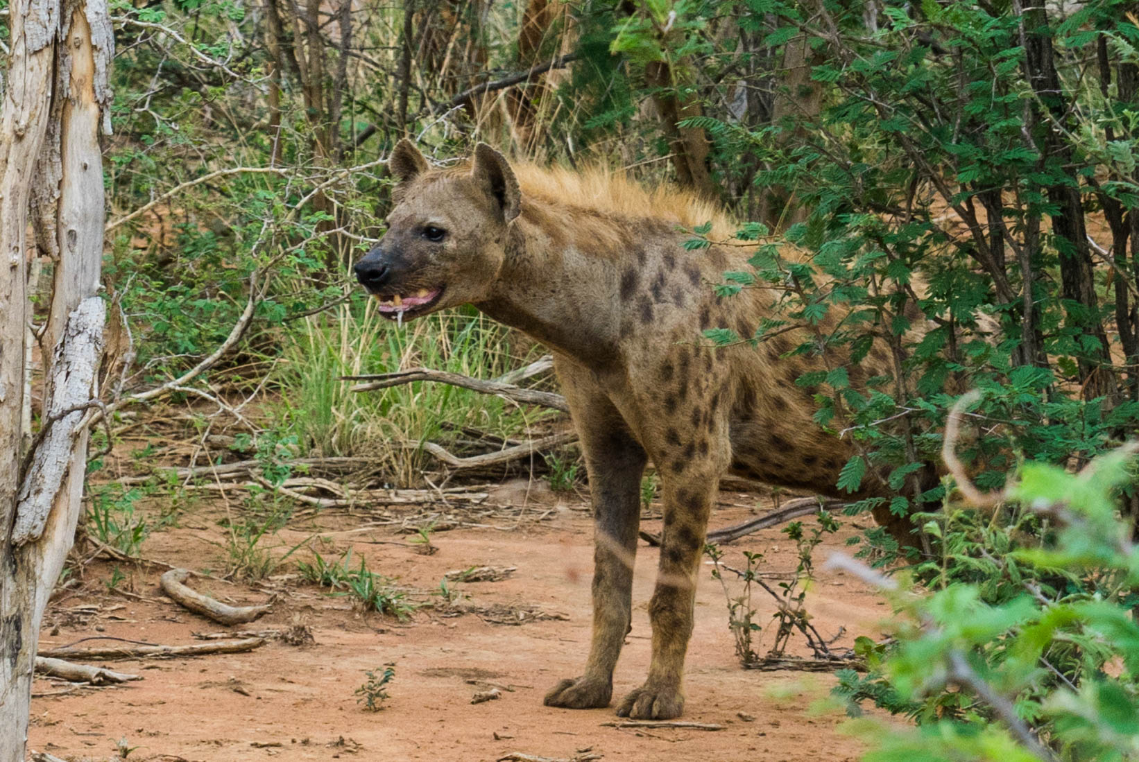 south africa madikwe safari pescart hyena