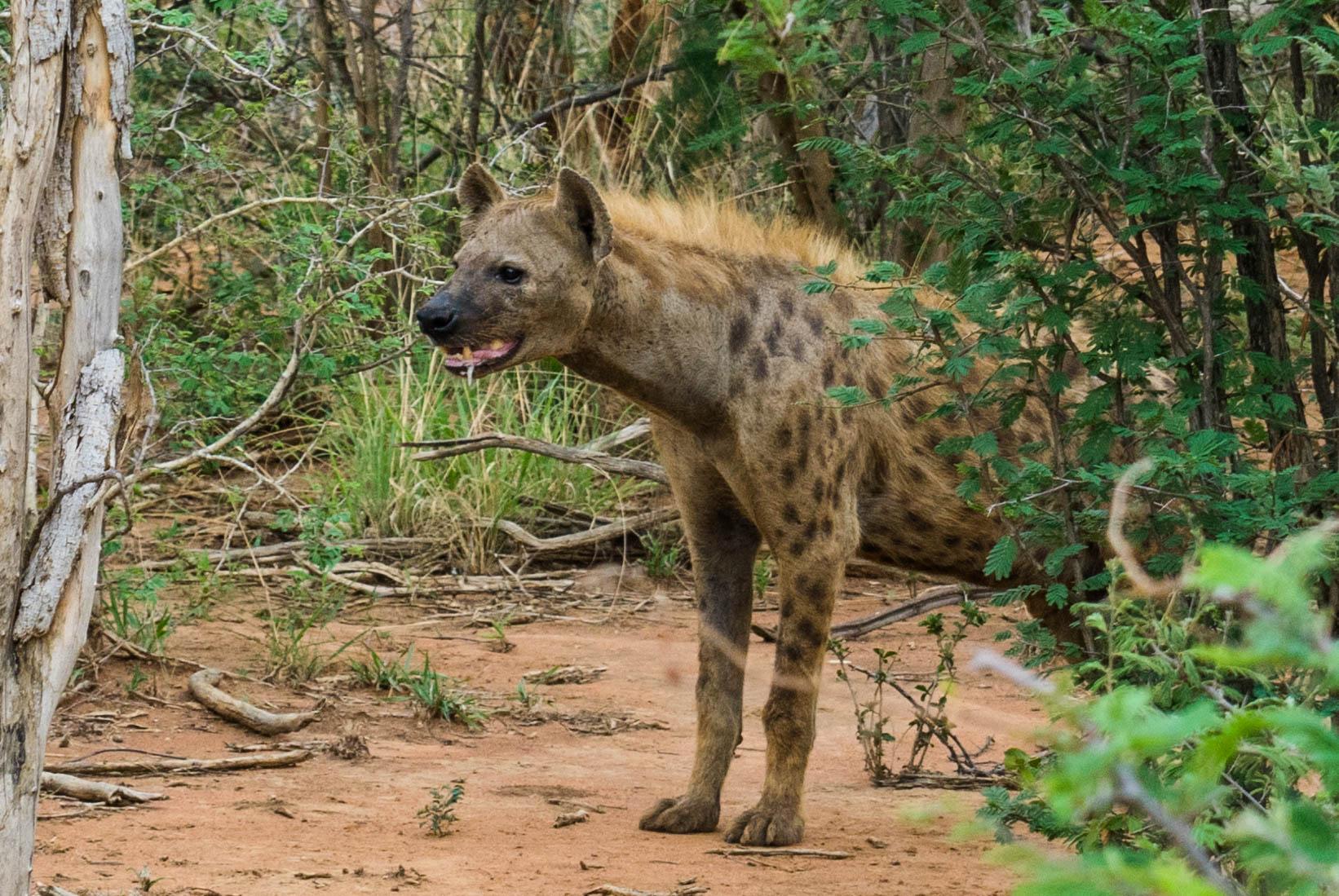 south africa madikwe safari pescart hyena