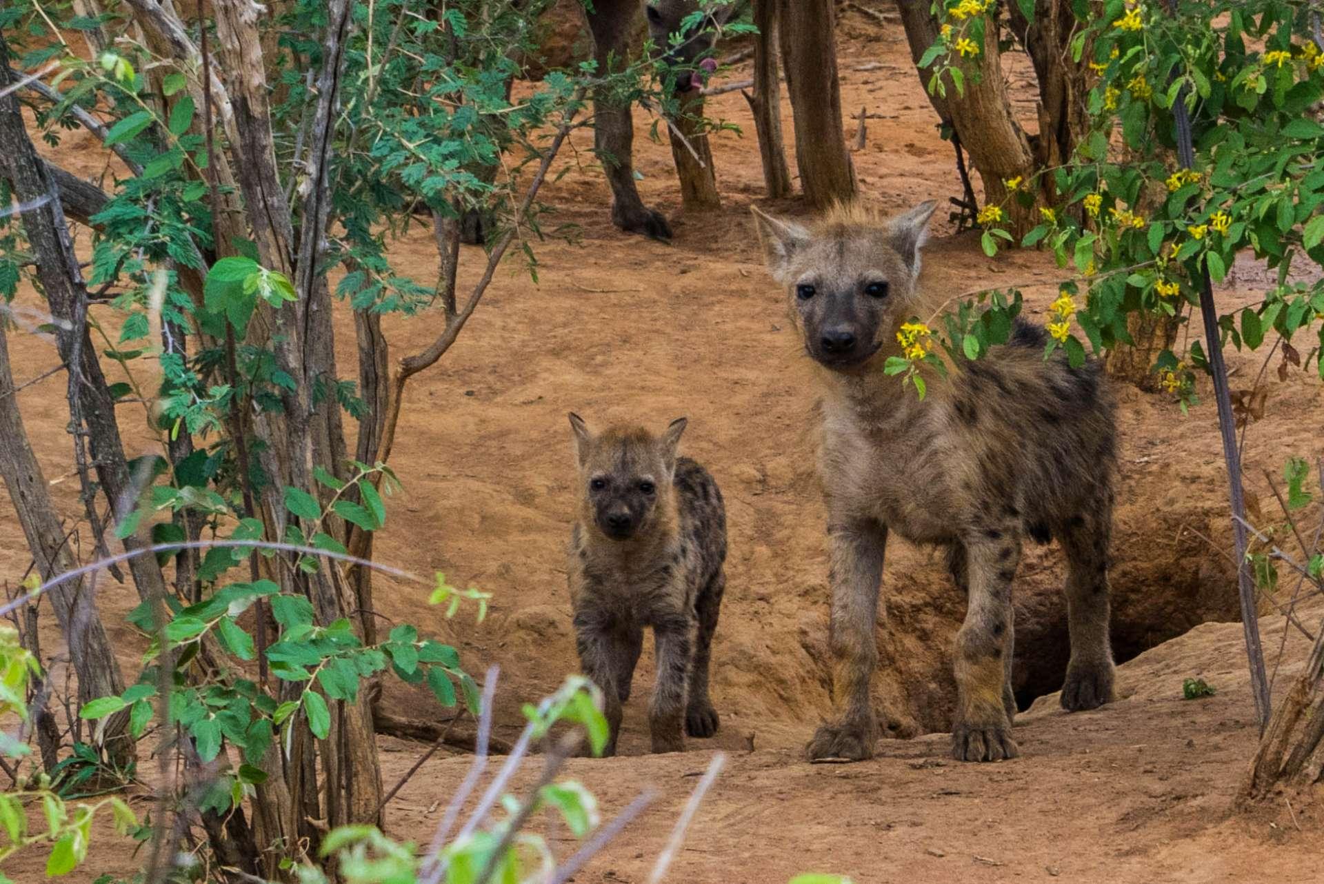 south africa safari madikwe pescart hyenas 3