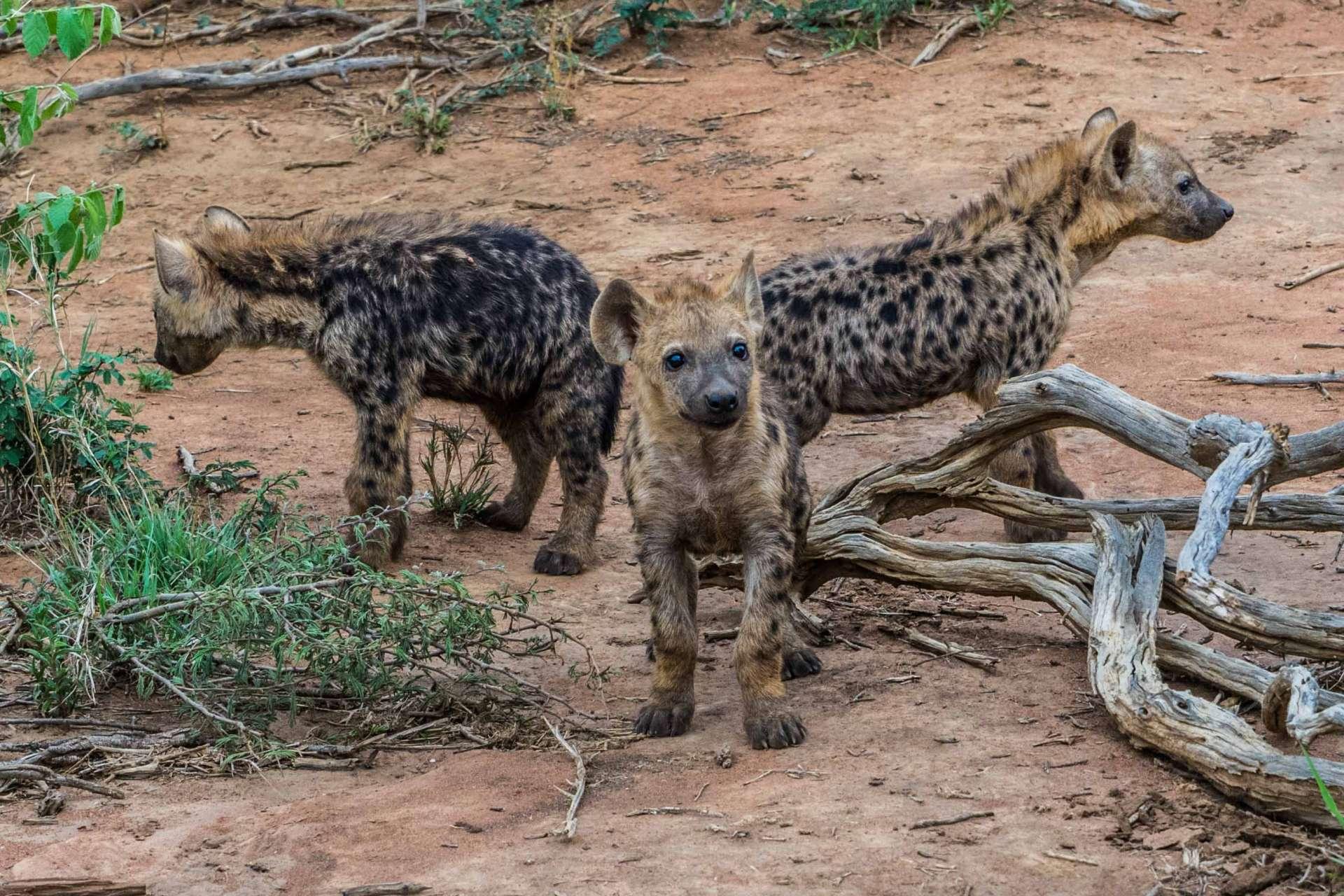 south africa safari madikwe pescart hyenas 2