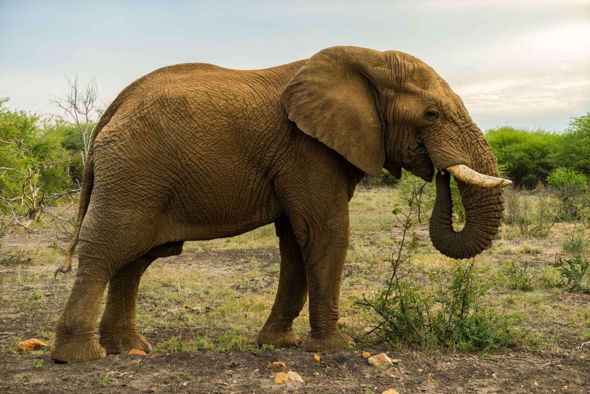 south africa safari madikwe pescart elephant