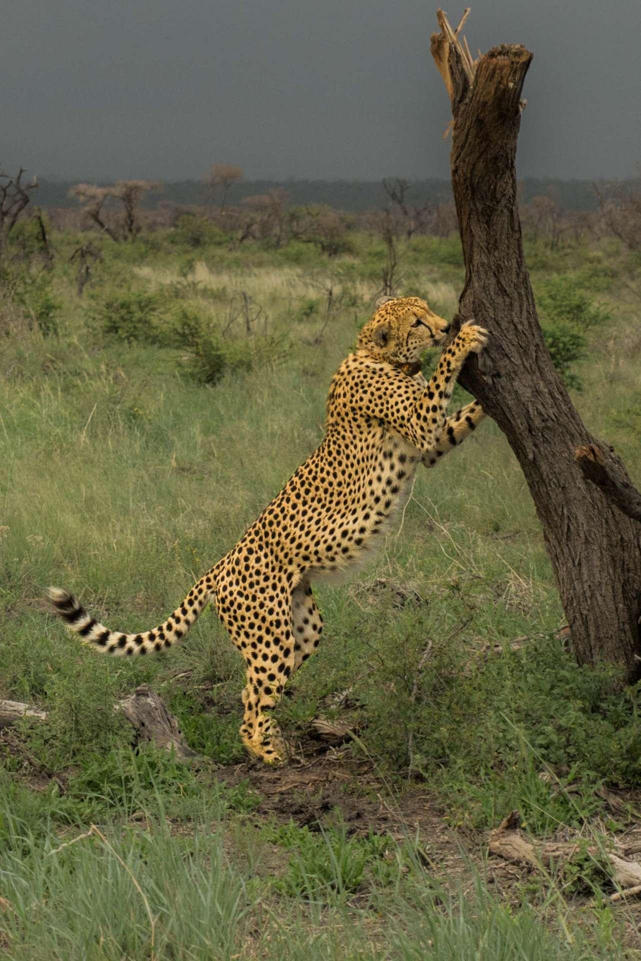 south africa safari madikwe pescart cheetah 1