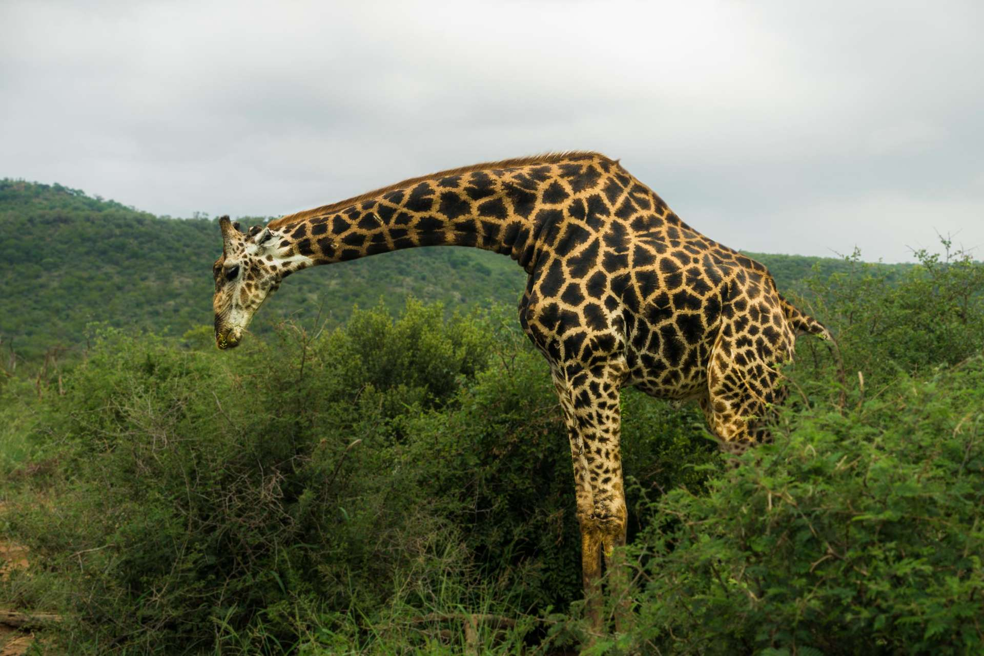 south africa madikwe safari pescart giraffe 3