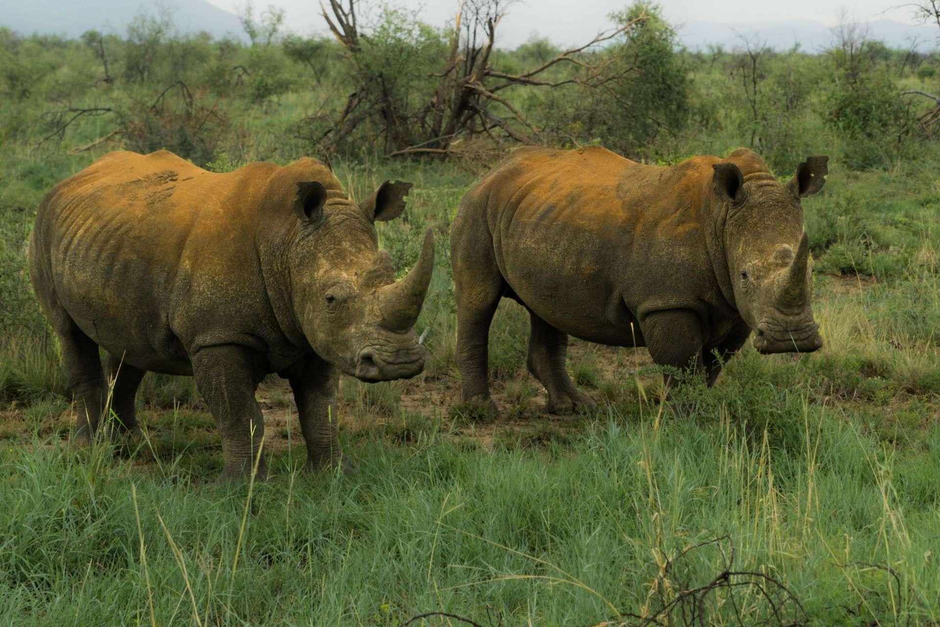 south africa madikwe safari pescart rhino