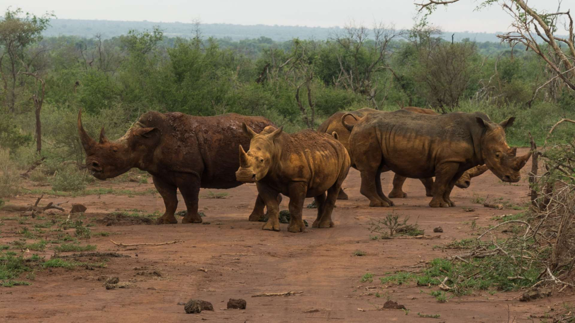 south africa madikwe safari pescart rhino family