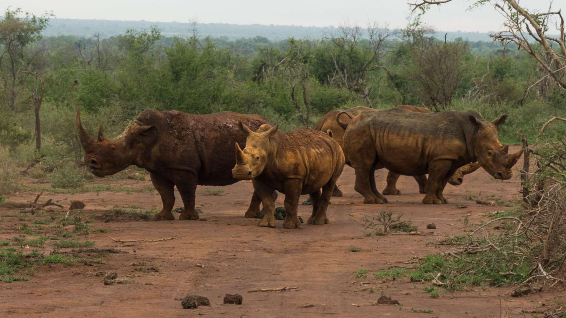south africa madikwe safari pescart rhino family