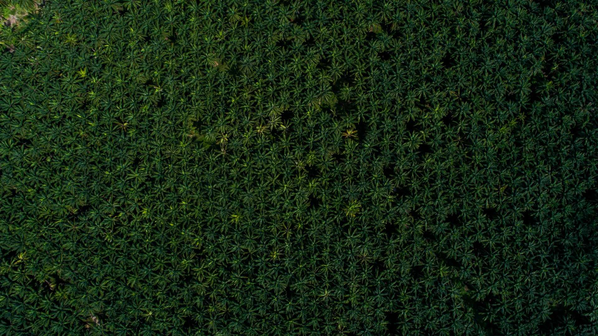 Palm Plantation Costa Rica From Above Enrico Pescantini 3
