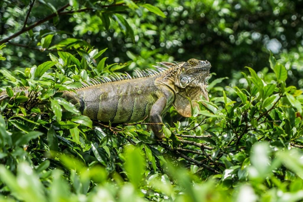 Costa Rica Enrico Pescantini PescArt Iguana Bridge 2