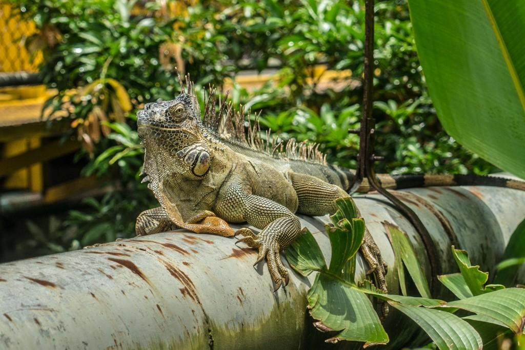 Costa Rica Enrico Pescantini PescArt Iguana Bridge 3